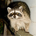 DSC01646 - Raccoon