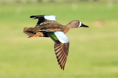 Blue-winged teal in flight Sand Lake National Wildlife Refuge | by USFWS Headquarters