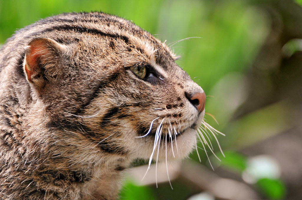Fishing cat this cat is called the fishing cat lives in for The fishing cat