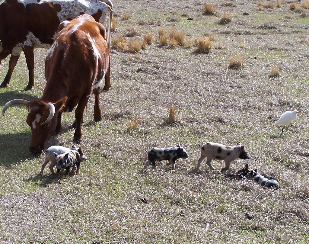 """Florida """"Cracker Cattle"""" and Wild Piglets 