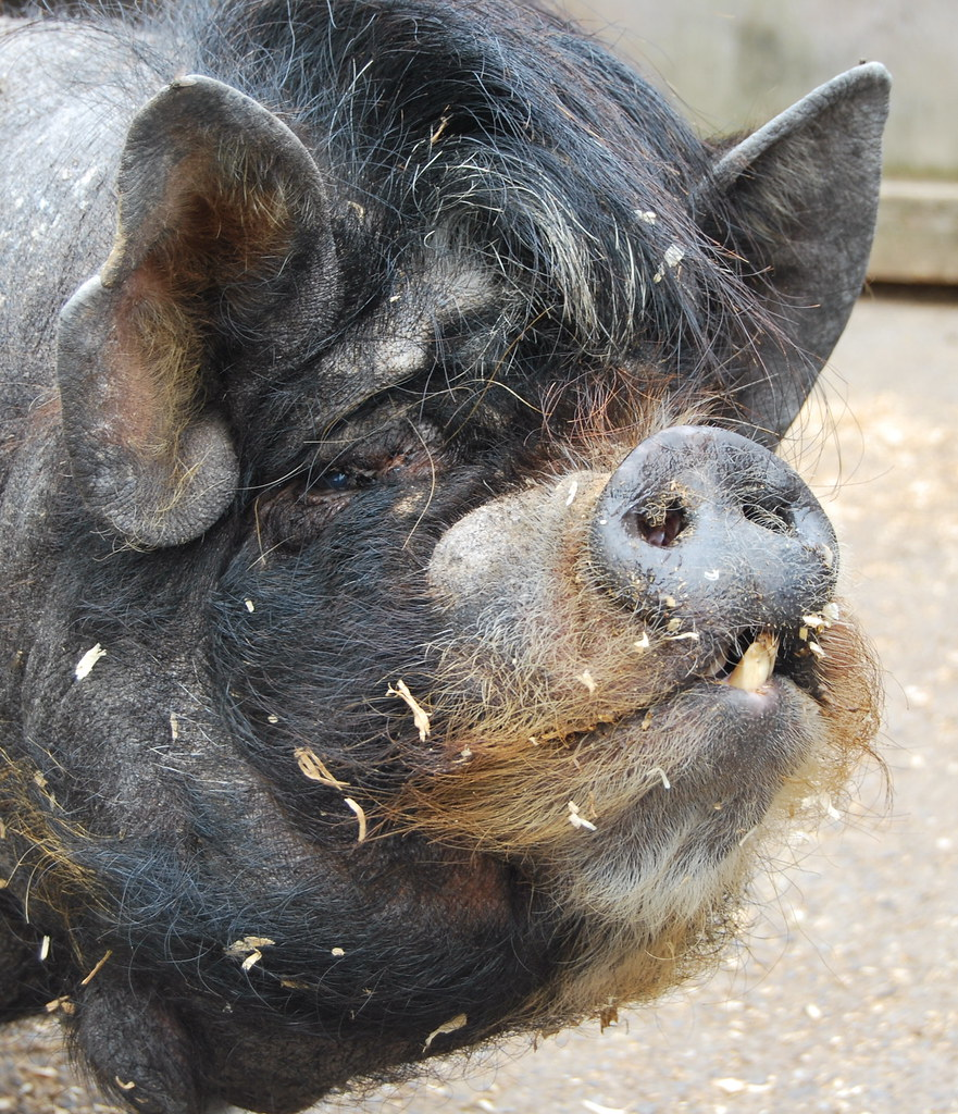 Ugliest Pig In The World The ugliest pig in the...
