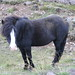 Icelandic Horse on the Roadside