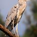 Proud heron