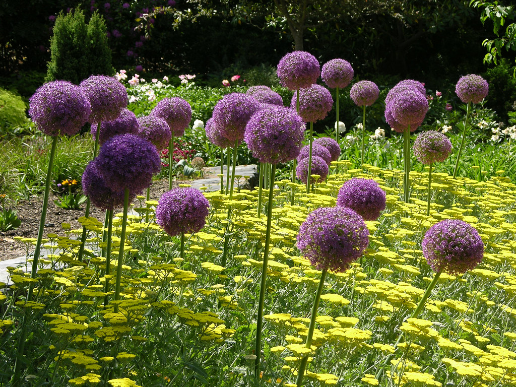 Allium giganteum | Giganteum, Giant allium, giant ...