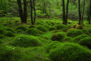 Mossy mounds, Sutherlands Grove Forest, Scotland | by Paul Mallett