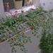 ivys and jasmine