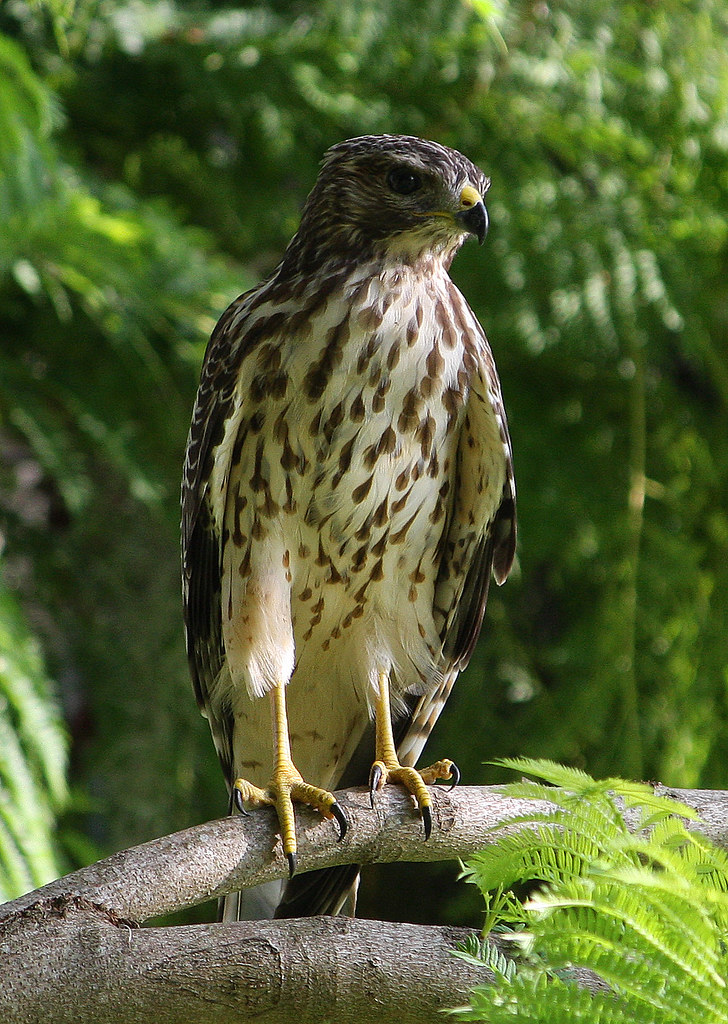 redshouldered hawk juvenile sharp talons one of the