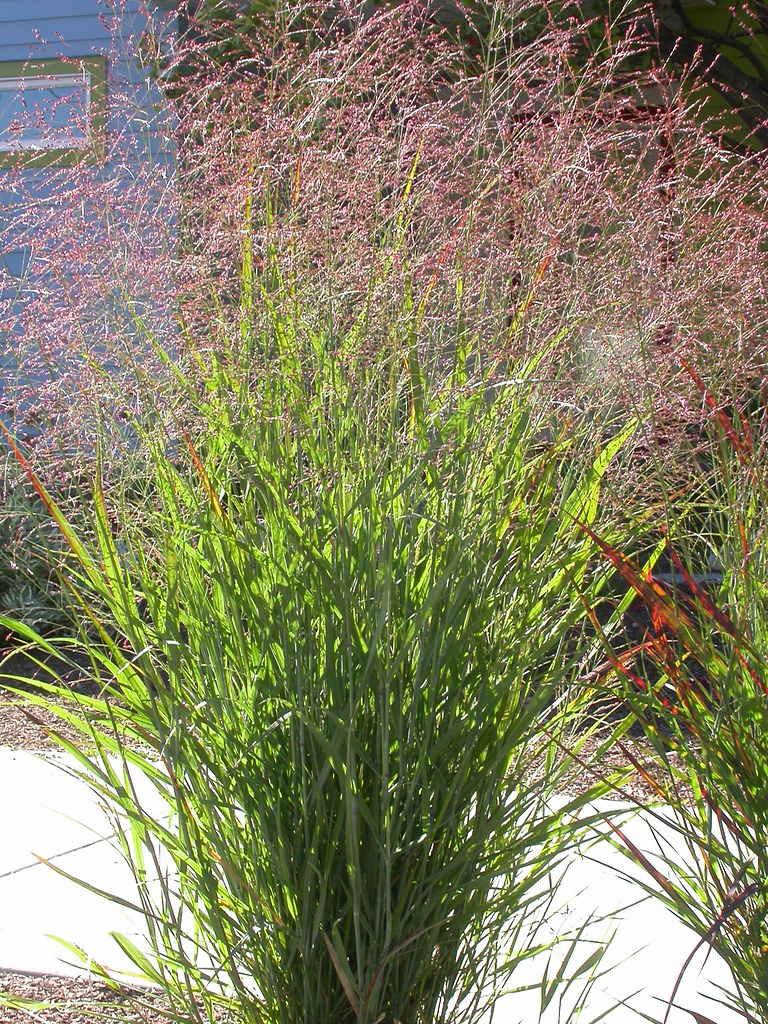 panicum virgatum although cultivated as an ornamental pan flickr. Black Bedroom Furniture Sets. Home Design Ideas