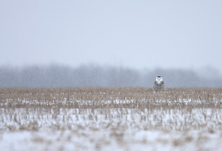 Peek a boo - Snowy Owl | by Jim Cumming