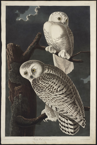 "Birds of America, ""Snowy Owl"" 