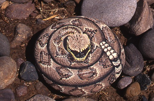 Rattler rock painting these rattlers actually scared - Painting rocks for garden what kind of paint ...