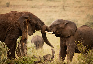 Kenya Msai Mara Elephants | by pickledimages