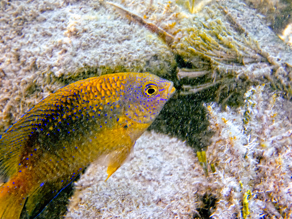 Damsel fish florida keys all rights reserved use for Whiting fish florida