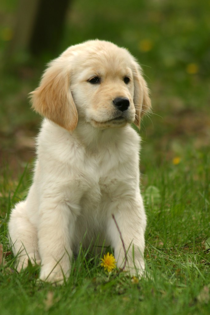 Dog Golden Retriever Puppy Price In India