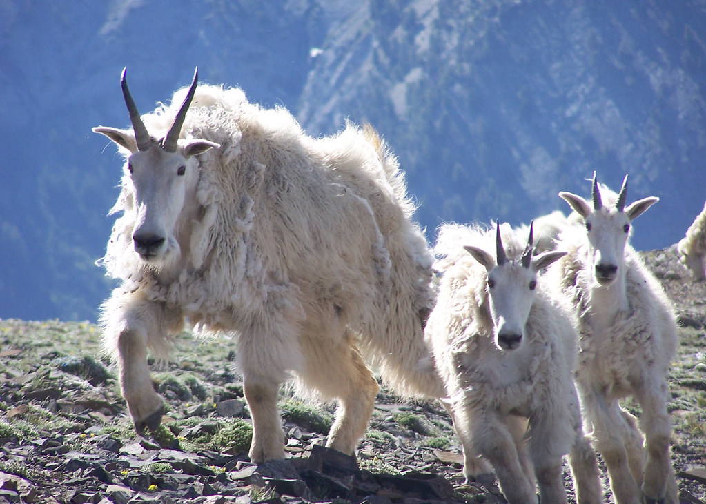 1637 mt goat matthews odfw mountain goat nanny and kids for Oregon fish and wildlife jobs