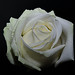 Witte roos  voor Pasen - White rose for Easter - Avalanche+