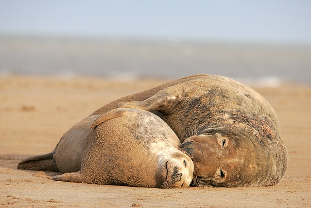 Seal couple