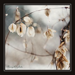 the flowers of winter - a tél virágai | by cheesyoh