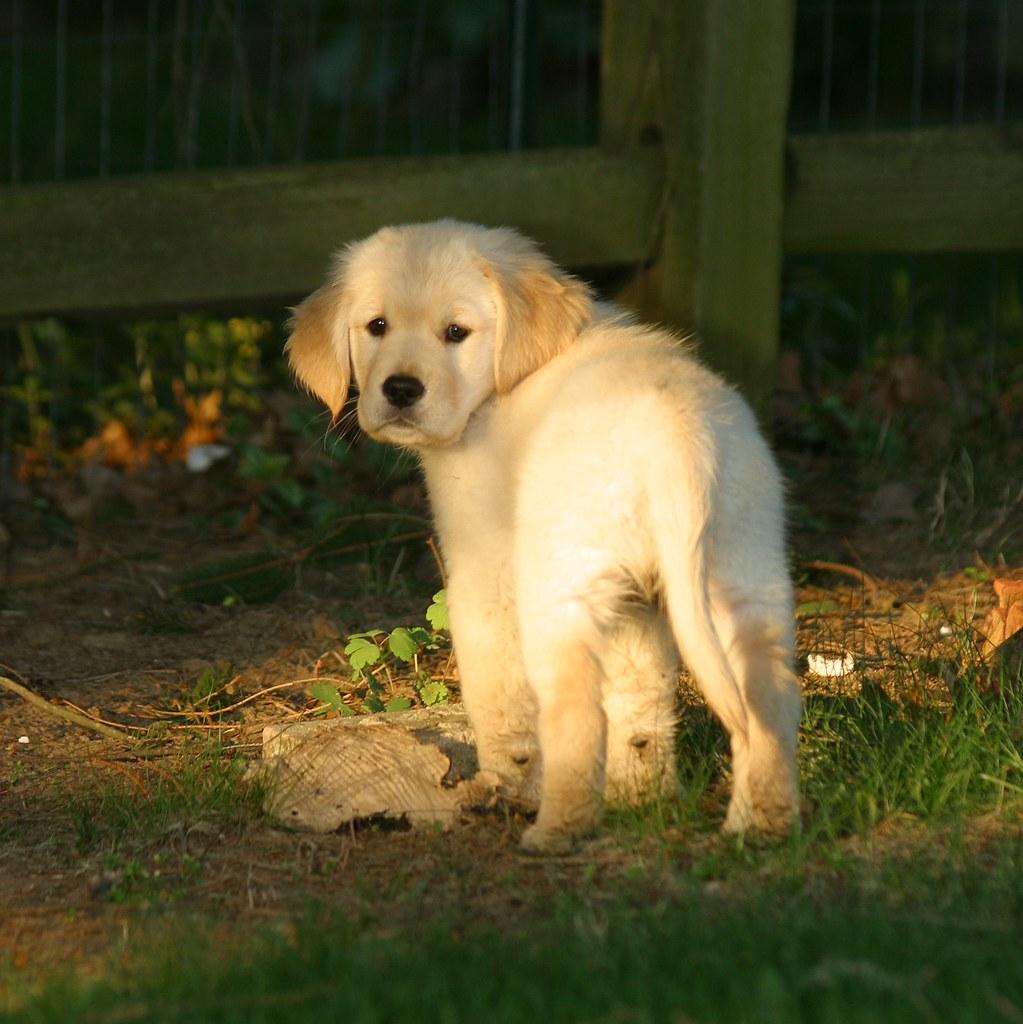 golden retriever puppy rob kleine flickr. Black Bedroom Furniture Sets. Home Design Ideas