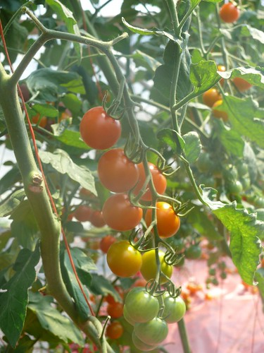 Organic tomatoes | by Cascadian Farm