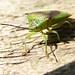 Sheild Bug Close-up