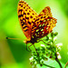 Photo of the Week - Aphrodite fritillary on milkweed