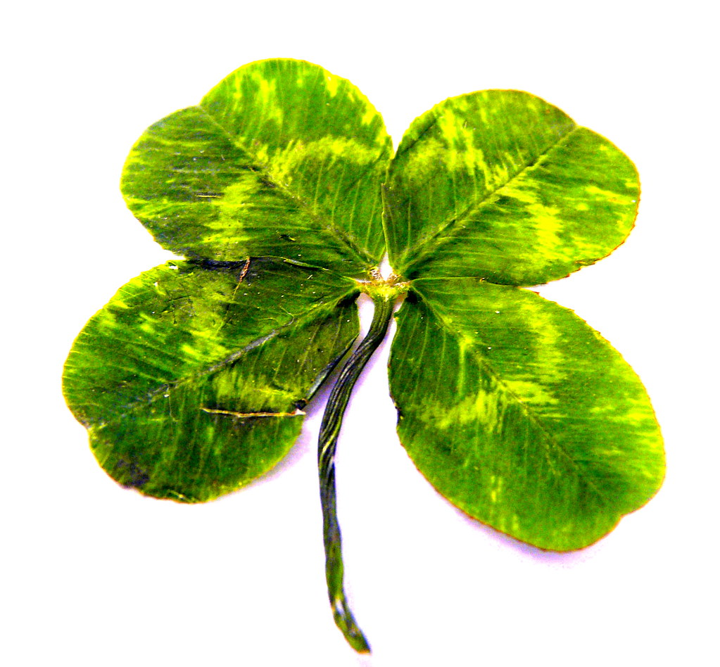 happy st patrick u0027s day one of my students found a 4 leaf u2026 flickr