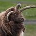 Horny Ram