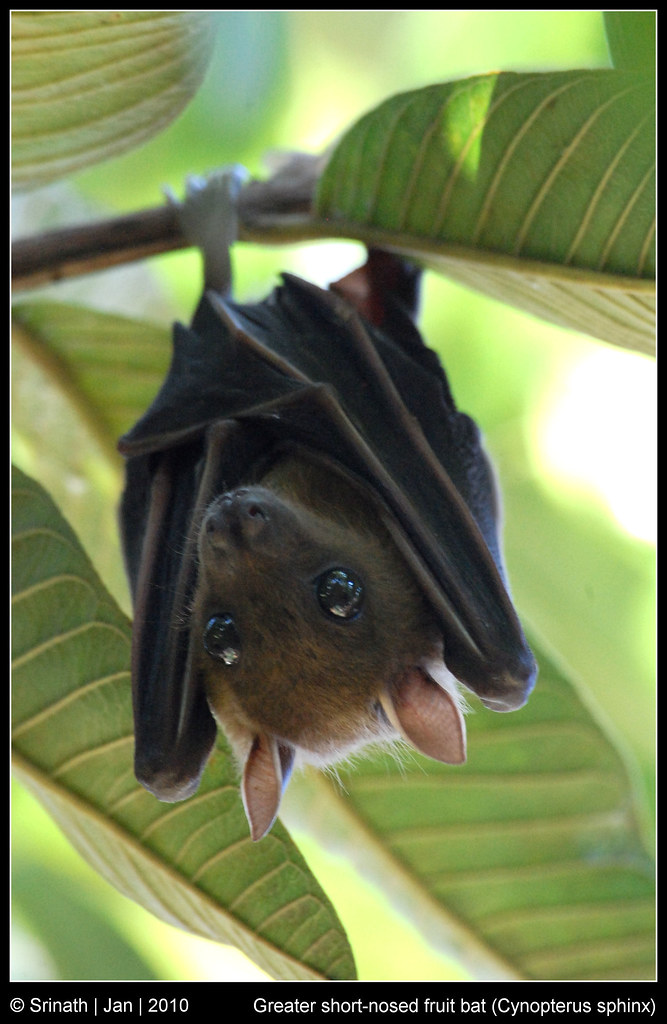 Greater short-nosed fruit bat (Cynopterus sphinx) | I ...