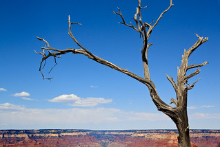 A dead Tree and a Canyon | by Nataraj Metz