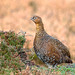 Red Grouse - Female - 3