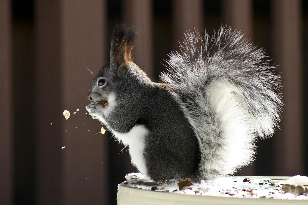 Abert's Squirrel | The Abert's Squirrel or Tassel-eared ...