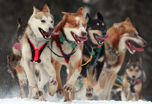The look of sheer determination - 2010 Iditarod Ceremonial start in Anchorage, Alaska | by Alaskan Dude