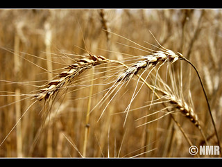 What is called Wheat !       [eXPLorEd :D] | by ~~Naheed Mehedi Rehman~~