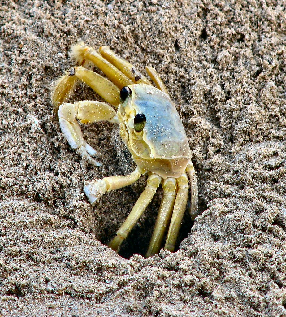 Jamaican Sand Crab | Taken on the beach at Runaway Bay in ...