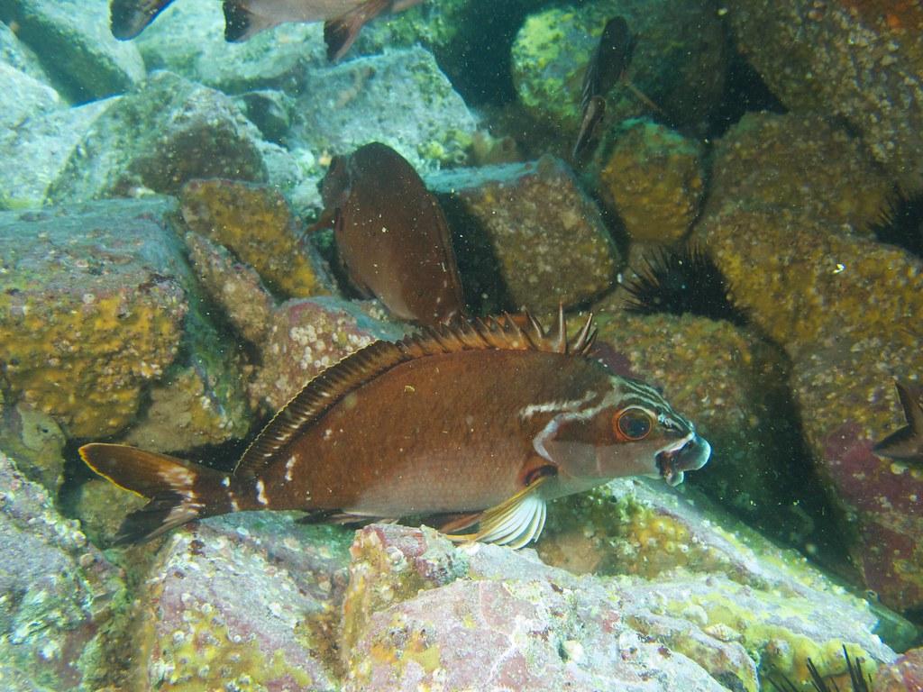 Morwong Fish Rock   Jane   Flickr