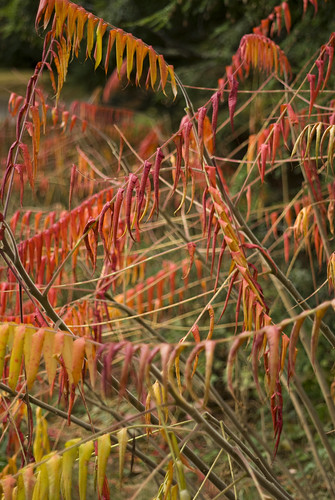 how to get rid of staghorn sumac