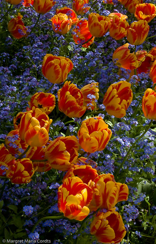 yellow & red tulip bed | by Margret Maria Cordts