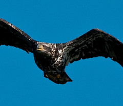 Immature Bald Eagle | by kelvins13