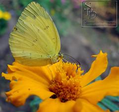 002. Grass Yellow Butterfly
