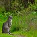 First bobcat encounter (1of2)