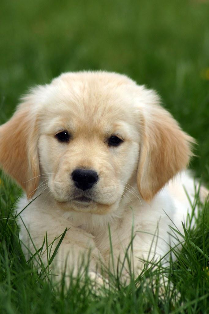 golden retriever puppy in grass rob kleine flickr. Black Bedroom Furniture Sets. Home Design Ideas