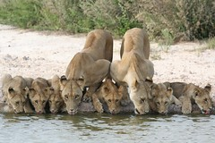 Thirsty pride - 8 lions drinking | by CherylV