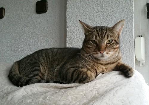Cotton y Cobby, gatos pardo y blanquipardo inseparables, nacidos en Febrero´15, necesitan adopción Conjunta. Valencia. 32260603894_72a65cb879