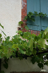 Grapes on a house | by paral_lax <°)><