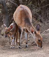 Bushbuck Family | by Thomas Retterath