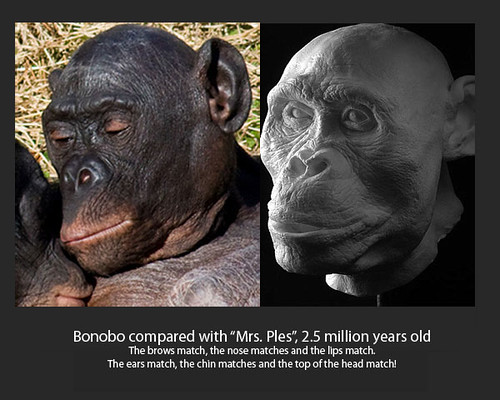 Bonobo compared to 'Mrs Ples', 2.5 million year old humano ...
