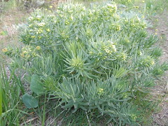 Columbian Puccoon
