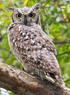 Spotted Eagle Owl | by Marc_Scott-Parkin