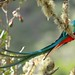 Costa Rica: Resplendent Quetzal